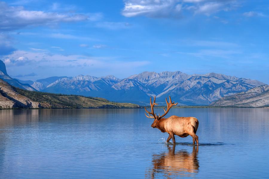 Elk In Jasper Lake Photograph by James Anderson