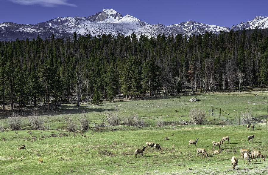 Rockies Photograph - Elk In Meadow by Tom Wilbert