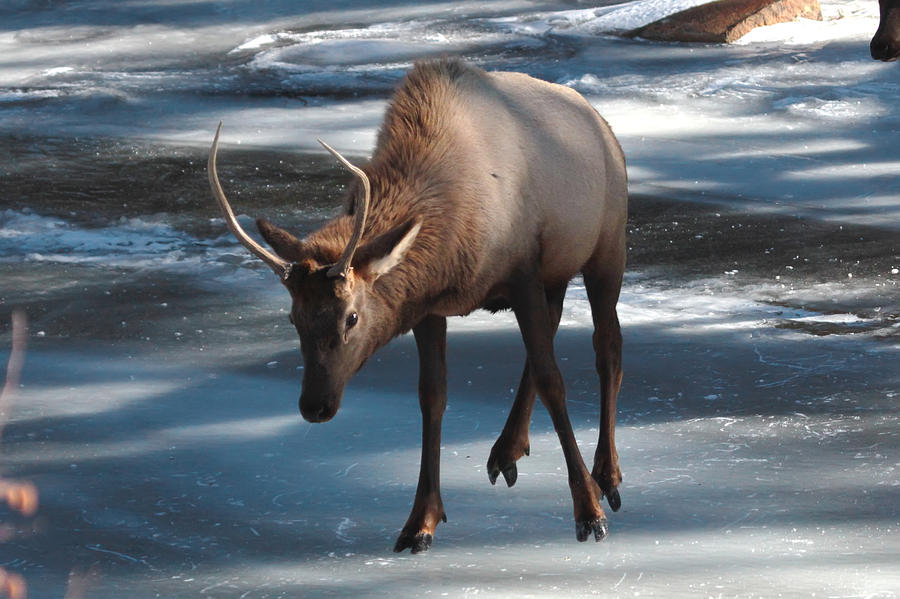 Elk Photograph - Elk on Ice by Perspective Imagery