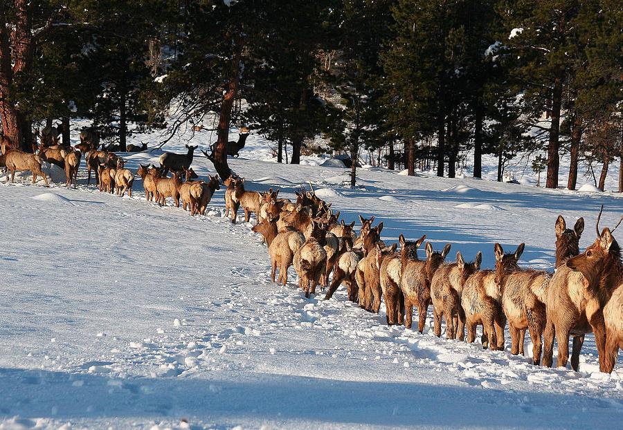 Landscape Photograph - Elk Train by Steven Reed