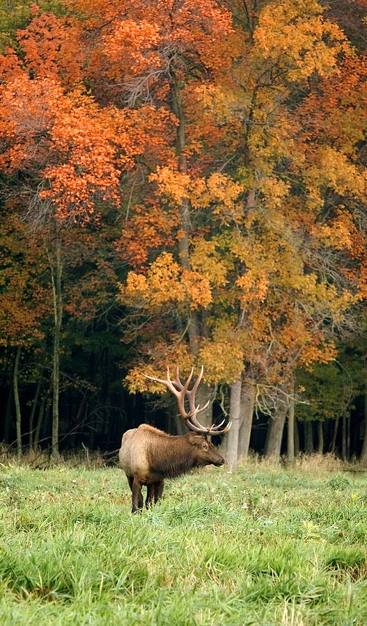 Elk with Autumn Colors by Larry Bohlin