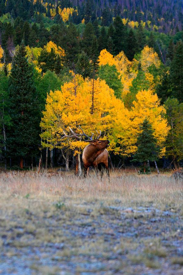 Elk Photograph - Elks Last Call by Rebecca Adams