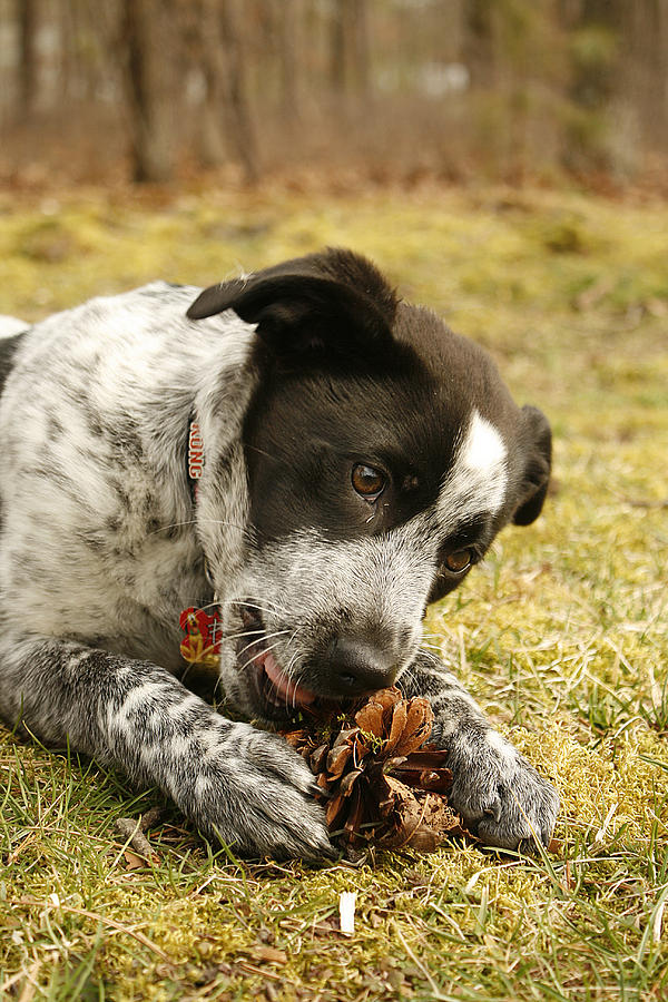 Puppy Photograph - Ellie Vs. The Pine Cone by Kristia Adams