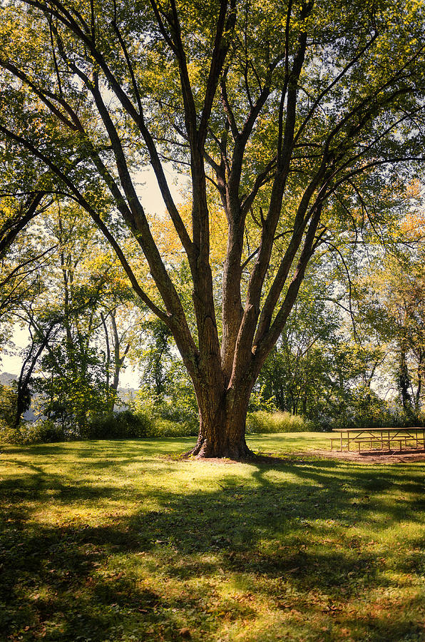 Landscape Photograph - Elm In The Sunshine by Diana Boyd