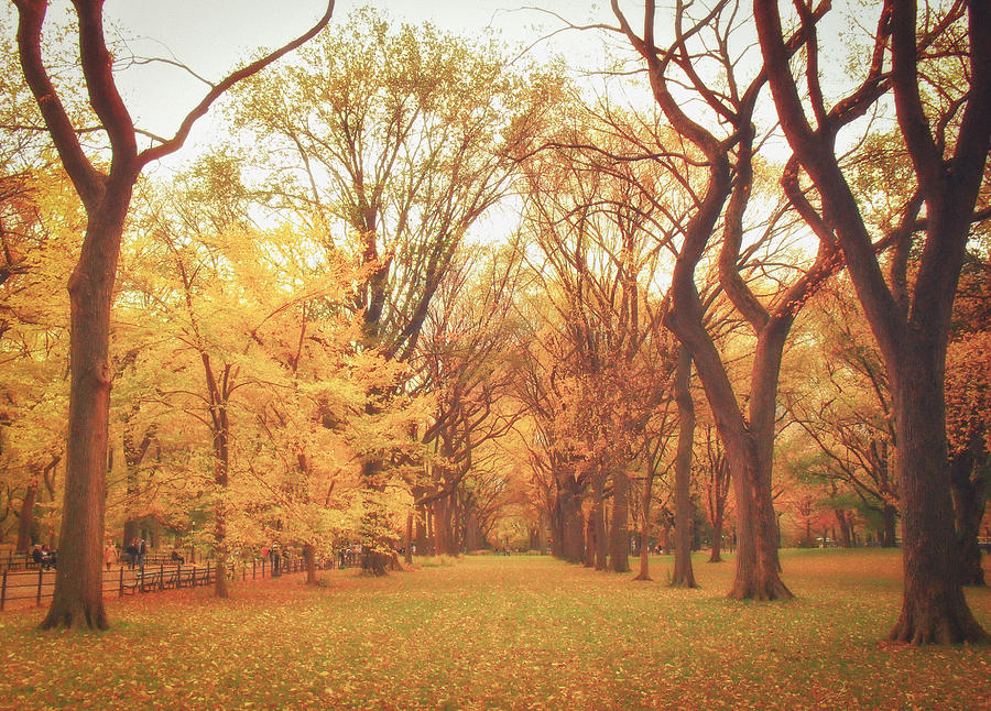 Autumn Photograph - Elm Trees - Autumn - Central Park by Vivienne Gucwa