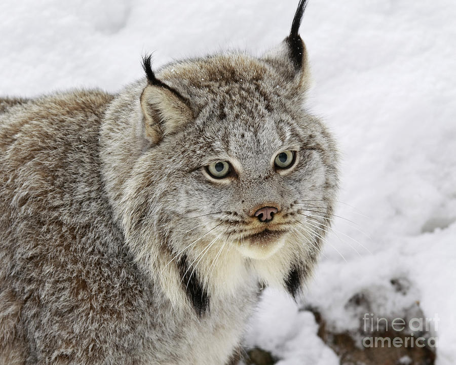 Lynx Photograph - Elusive By Nature by Inspired Nature Photography Fine Art Photography