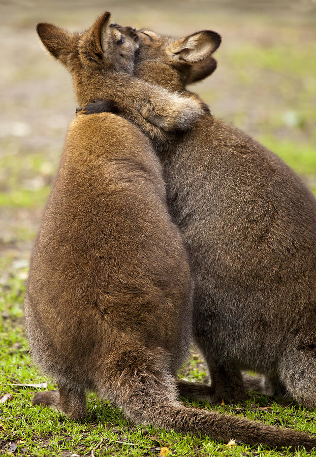 Wallaby Photograph - Embrace by Mike  Dawson