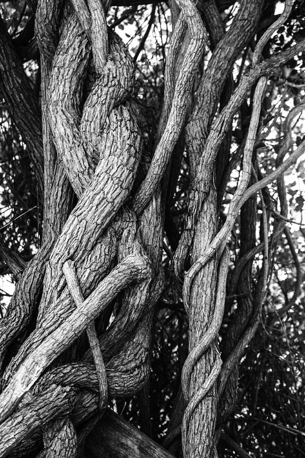 Tree Photograph - Embracing Rooted Love by Luna Curran