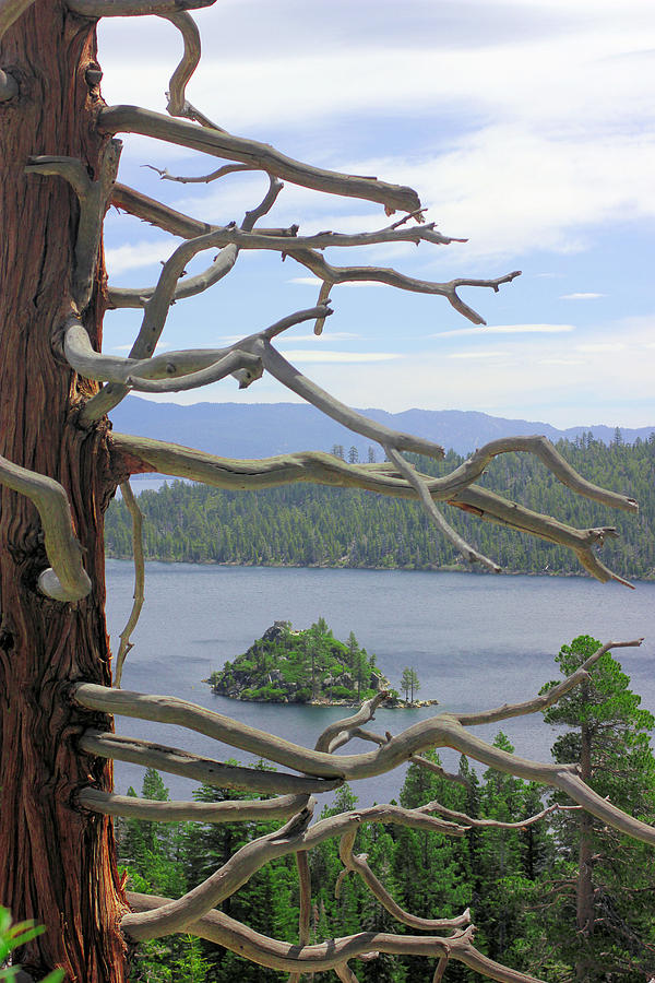 Tahoe Photograph - Emerald Bay Through Cedar by Mickey Hatt