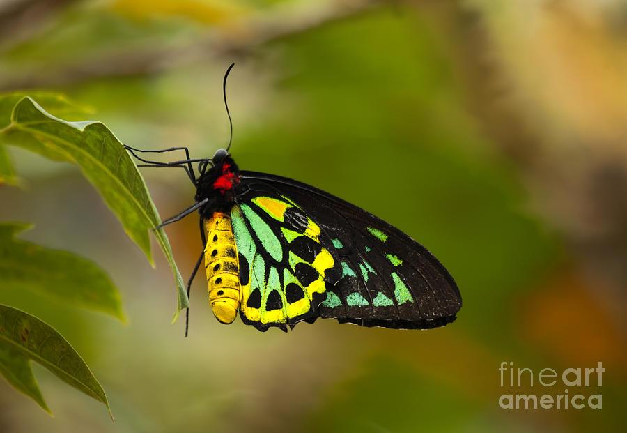 Cairns Birdwing Photograph - Emerald Beauty by Mike  Dawson