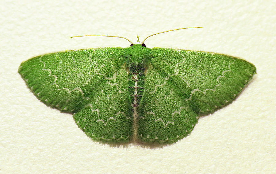 Emerald Photograph - Emerald Moth by Walter Klockers