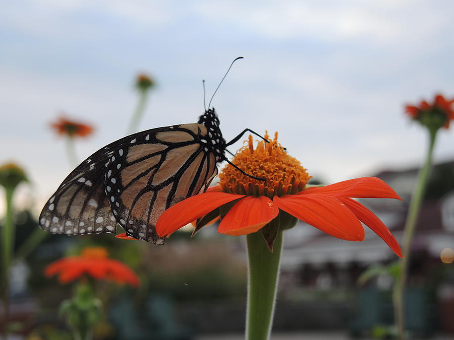Monarch Butterfly Photograph - Emerging Monarch by Chrissey Dittus