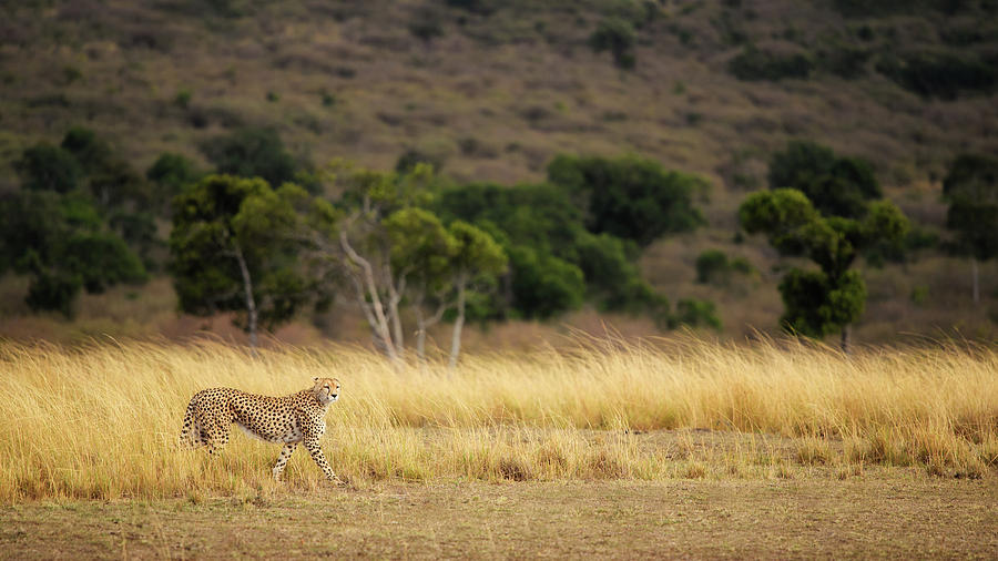 Cheetah Photograph - Emerging Runner by Mohammed Alnaser