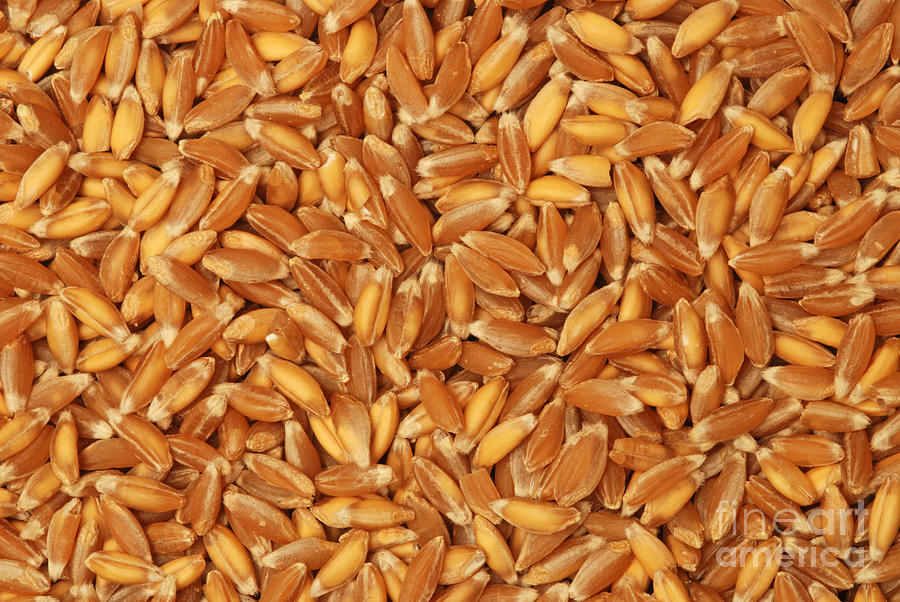 emmer wheat grains photograph by marv vandehey