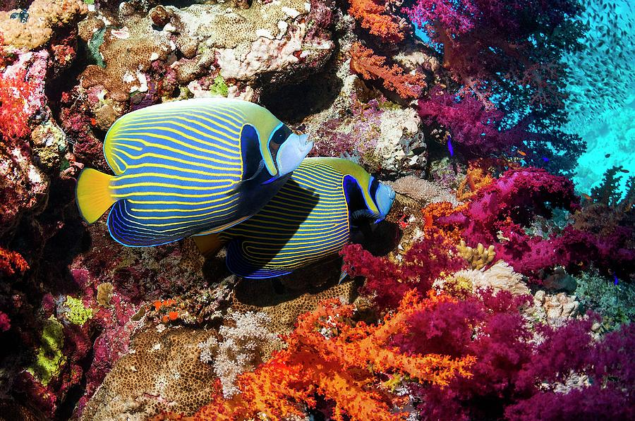Nobody Photograph - Emperor Angelfish On A Reef by Georgette Douwma