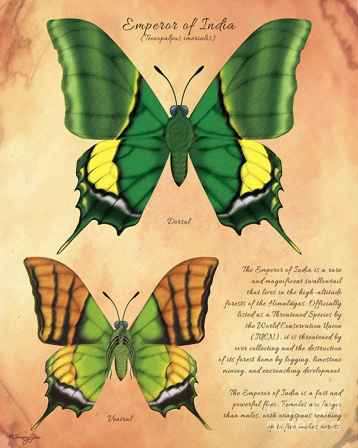 Butterfly Painting - Emperor Of India Butterfly by Tammy Yee