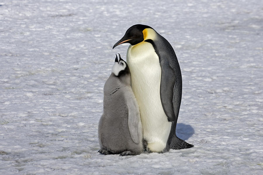 Emperor Penguin And Chick Snow Hill Isl Photograph by Roger Tidman