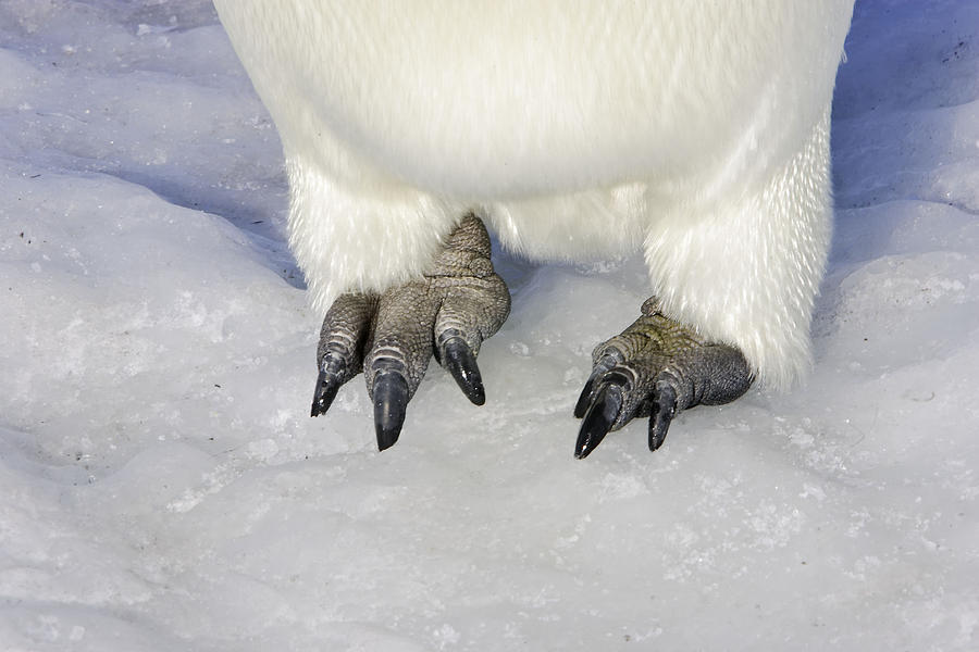 Emperor Penguin Feet Photograph By M Watson