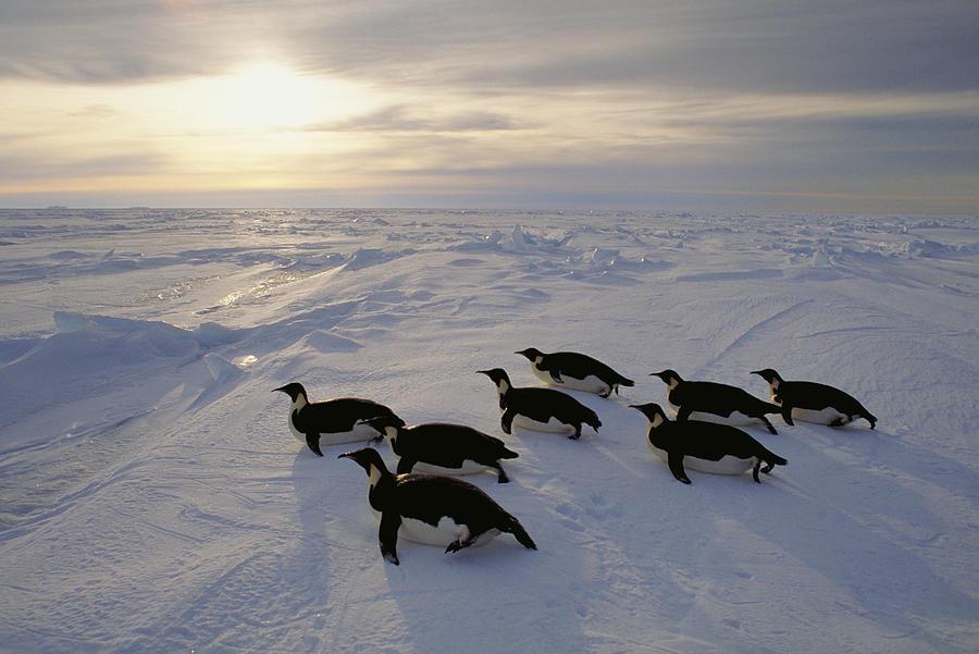 Emperor Penguins Tobogganing Weddell Sea Photograph by Kevin Schafer