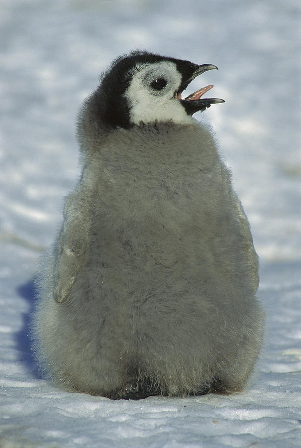 Emperor Penguin Young Chick Panting Photograph by Tui De Roy