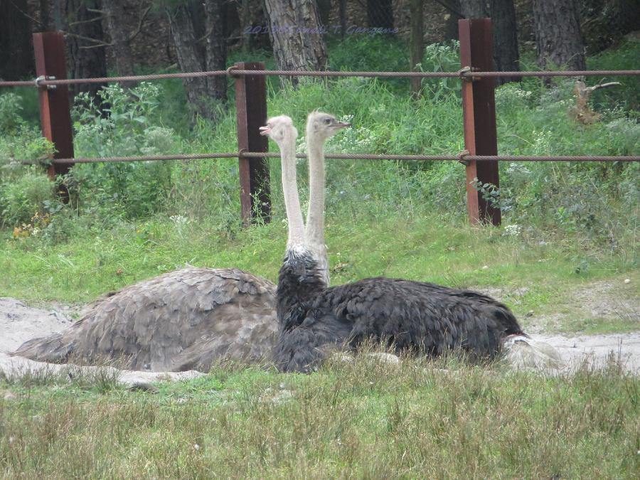 Australian Bird Photograph - Emu Birds by Sonali Gangane