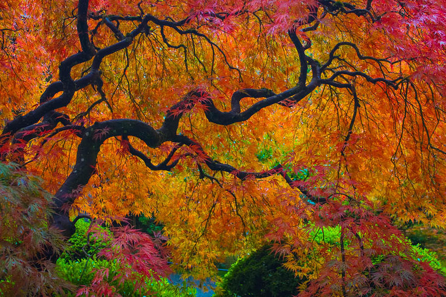 Japanese Maple Photograph - Enchanted Canopy by Patricia Babbitt