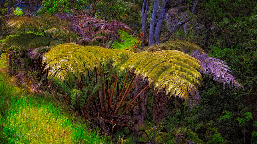 Hakalau Forest Nwr Photograph - Enchanted Fern by Jim Thompson