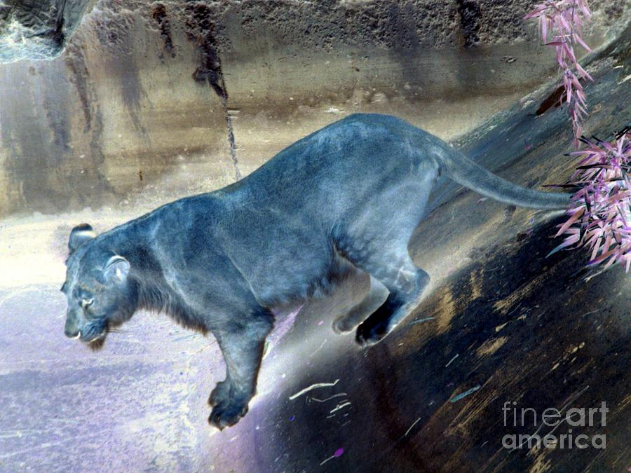Enchanted Photograph - Enchanted Lioness by Joseph Baril