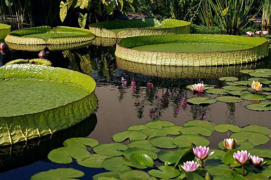 Nymphaea Photograph - Enchanting Water Garden by Byron Varvarigos