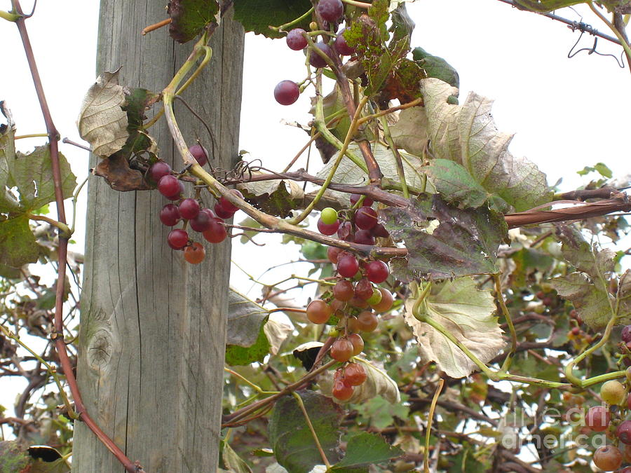 Grapevine Photograph - End Of Season Grapes by Jennifer E Doll