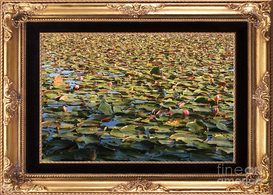 lily pond photograph endless lily pond with elegant frame by carol groenen - Elegant Picture Frames