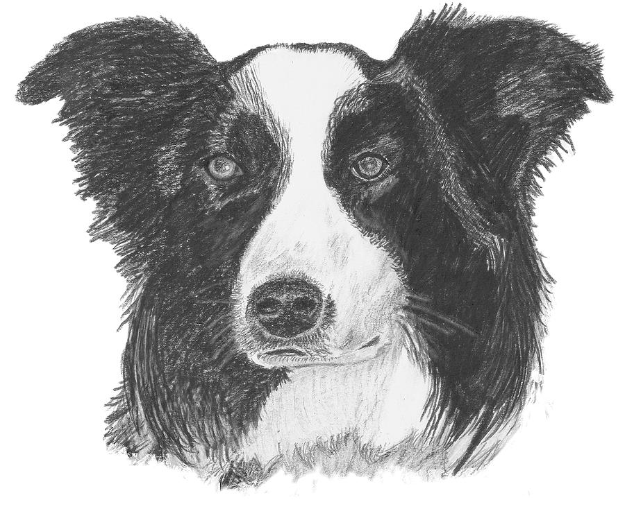 Border Collie Drawing - English Border Collie by Catherine Roberts