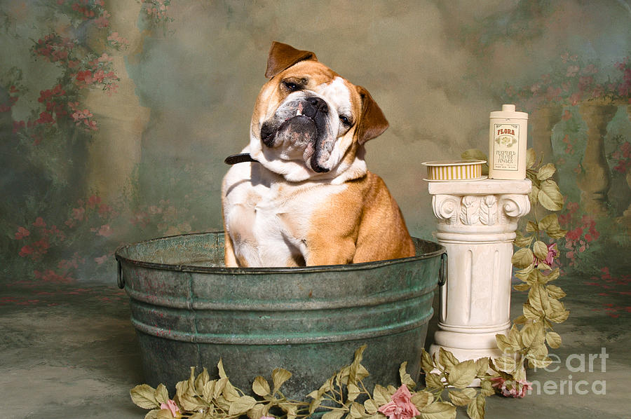 Bulldogs Photograph - English Bulldog Portrait by James BO  Insogna