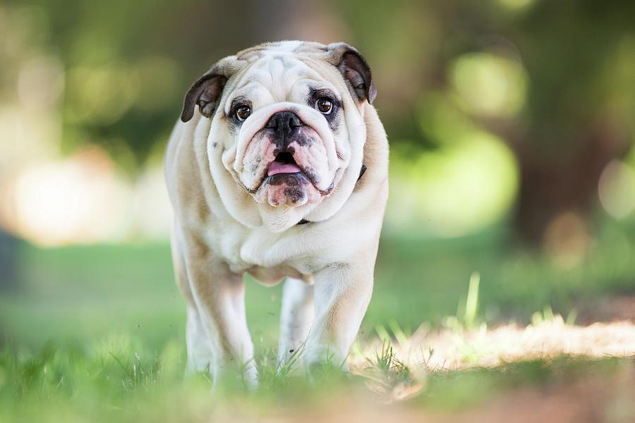 English Bulldog Puppy Walking Outdoors Photograph by Purple Collar Pet Photography
