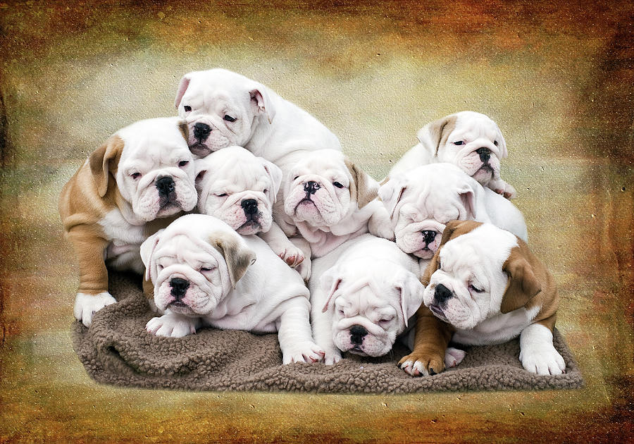 English Bulldog Pups Photograph by Jody Trappe Photography