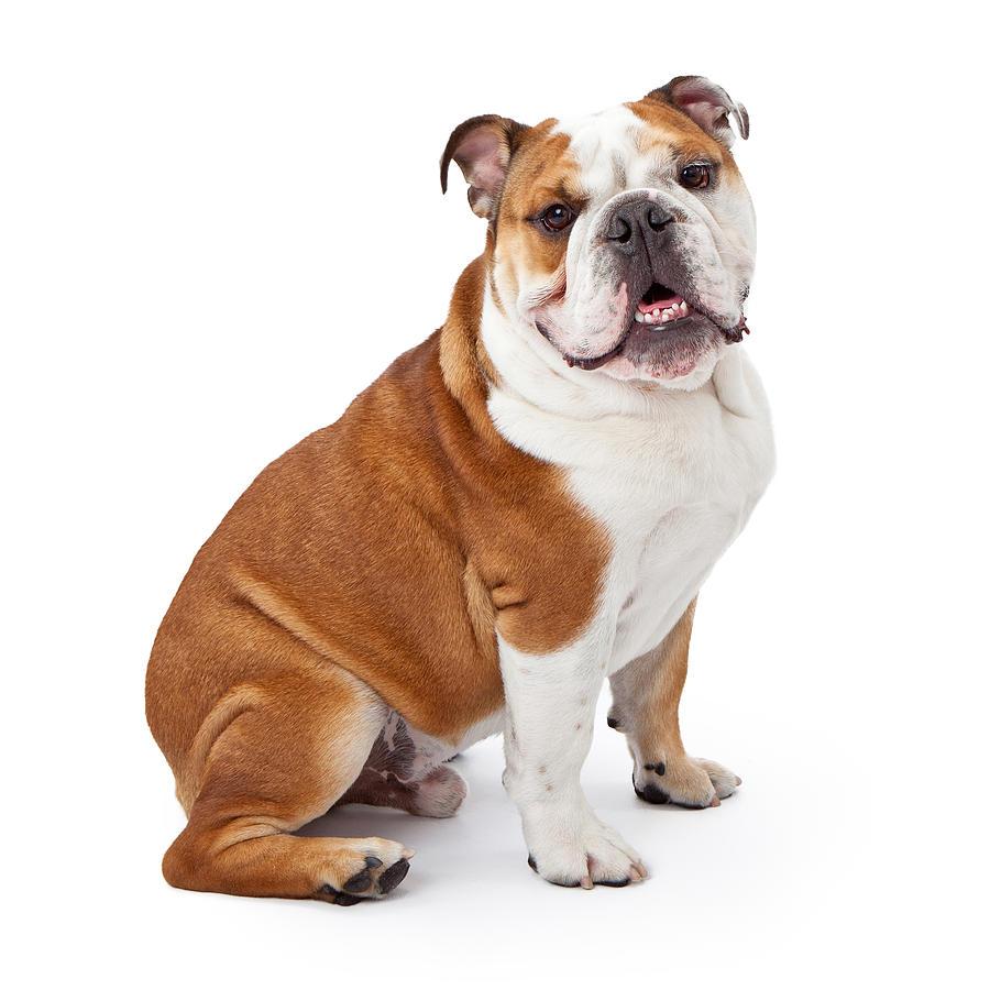 Dog Photograph - English Bulldog Sitting  by Susan Schmitz