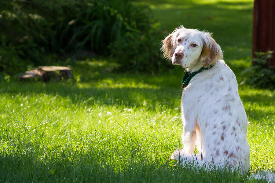 English Setter in the Grass Photograph by Brian Caldwell