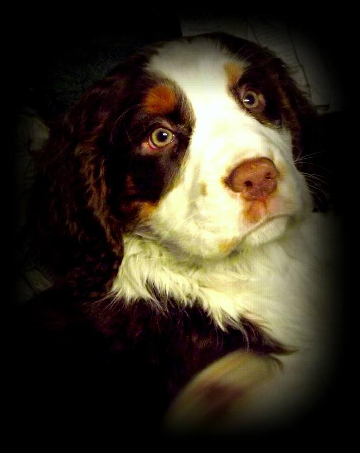 Dog Photograph - English Springer Spaniel by Dancingfire Brenda Morrell