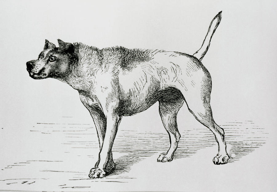 Dog Photograph - Engraving Of An Aggressive Dog by Science Photo Library