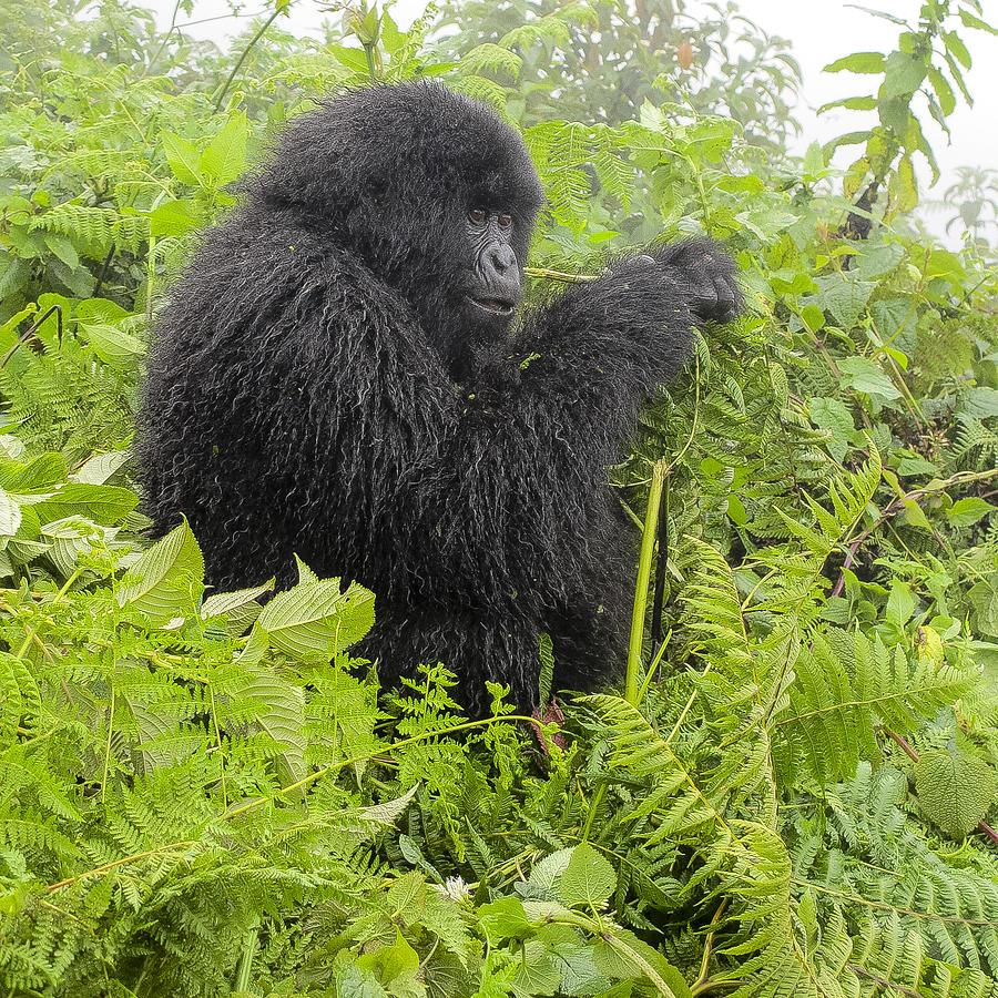 Rwanda Photograph - Engrossed by Paul Weaver