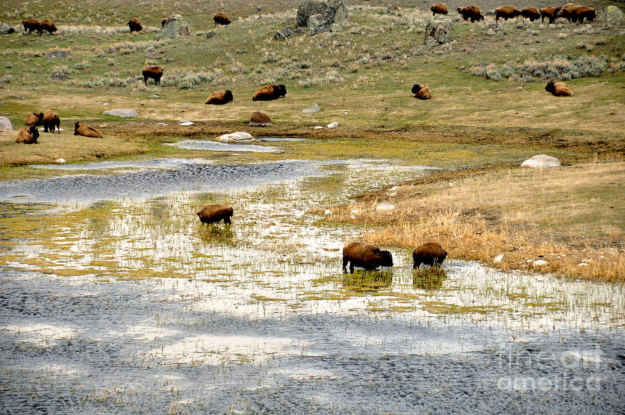 Bison Photograph - Enjoying A Mornings Dip by Birches Photography