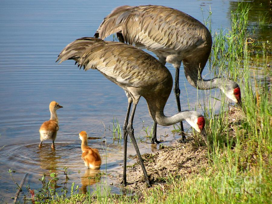 Sandhill Cranes With Chicks Photograph - Enjoying The Water by Zina Stromberg