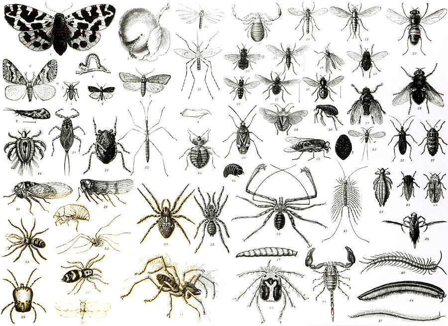 Insects; Arachnids; Butterfly; Zoology; Species; Fly; Flies; Scorpion; Spiders; Millipede; Moth Drawing - Entomology Myriapoda And Arachnida  by English School
