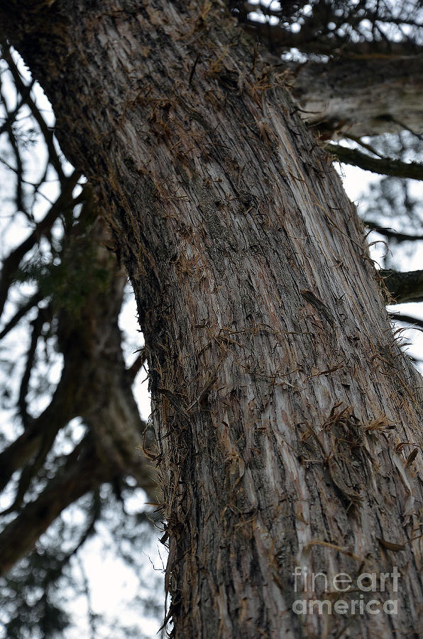 Cedar Photograph - Ents by Brenda Dorman