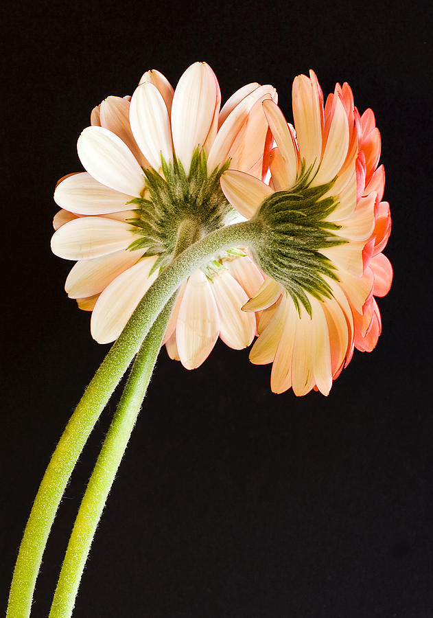 Gerbera Photograph - Entwined by Diane Fifield