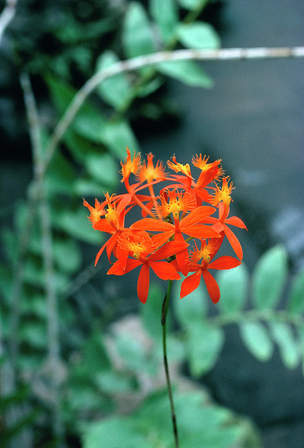 Nature Photograph - Epidendrum Ibaguense. by Science Photo Library