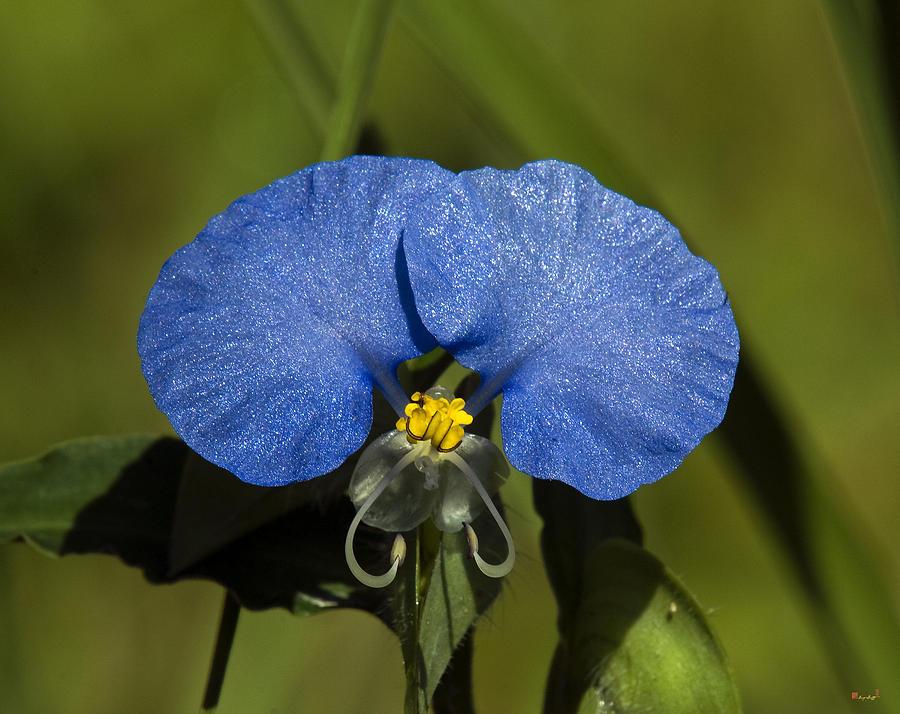 Nature Photograph - Erect Dayflower  Commelina Erecta Dsmf096 by Gerry Gantt