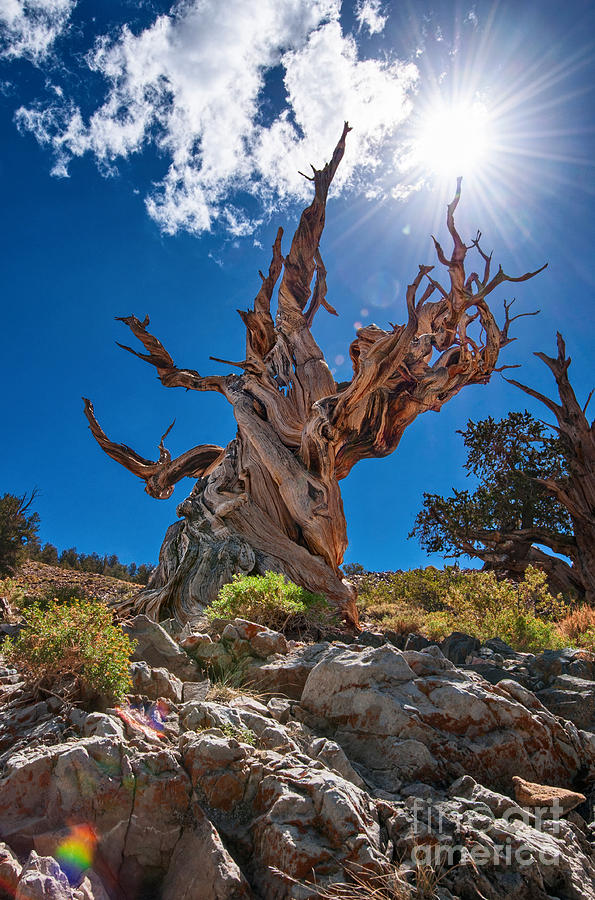 Ancient Bristlecone Pine Forest Photograph - Eternity - Dramatic view of the Ancient Bristlecone Pine Tree with Sun Burst. by Jamie Pham