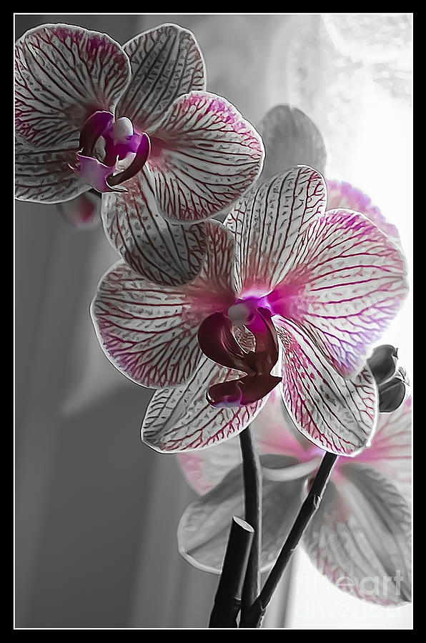 Spring Photograph - Ethereal Orchid by Bianca Nadeau