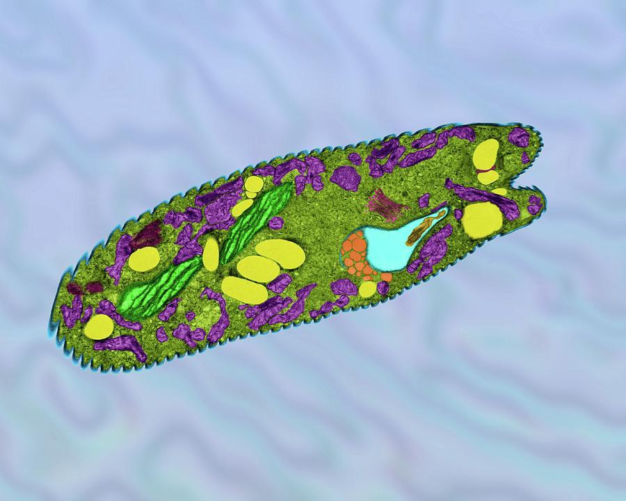 Euglena Gracilis Photograph By Dennis Kunkel Microscopy